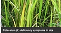 """K gallery"" Application Offers Photos Showing Potassium Deficiency Symptoms  in Crops"