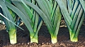 New Leek Varieties at Hazera's Portfolio
