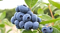 Global Plant Genetics signs up US Blueberry program