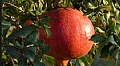 Israeli Expertise to Boost Pomegranate Yield