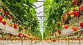 Diffused light and pre-treated air enhance greenhouse crops
