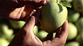 Chemical thinning influence on 'Golden Delicious' apples Fruit number