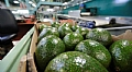 "Tesco approves ""Granot Farmer"" avocado packing house to export fruit to the chain's branches"