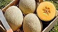 Innovative Cantaloupe Melon Varieties in South America