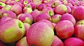 Prevention of apple fruit cracking by strengthening skin resistance to growth strain
