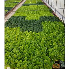 Hydroponics- a new method of growing crops without soil (Enlarge)