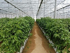 Hydroponic Strawberries in Hanging Gutters for Central Asia Targeting the Russian Market (Enlarge)