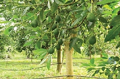 Determining the nutritional requirements of orchard trees (Enlarge)