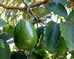 Increasing Investment in avocado and dates R&D for a better yield (Enlarge)