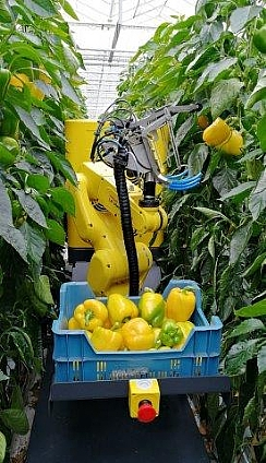 SWEEPER - The first robot capable of selecting and picking ripe sweet peppers (Enlarge)