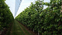 Green Solution Against Excessive Rainfalls and Insects in Cherry Growing (Enlarge)