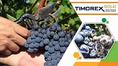 Timorex Gold® Biofungicide Receives 1st Place by AgroPages (Enlarge)