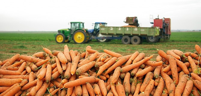 Root Vegetables Fresh from Fields to Europe's Shelves