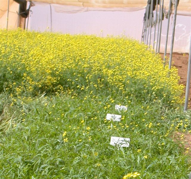 New rucola spice herb wild rocket 1 rucola in a net house both types sowed and planted at the same time behind the commercial with the heavy yellow flowering in front the rock ad crop mightylinksfo