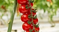 DURILLO CHERRY TOMATO